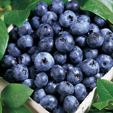 Blue Ray blueberries in basket