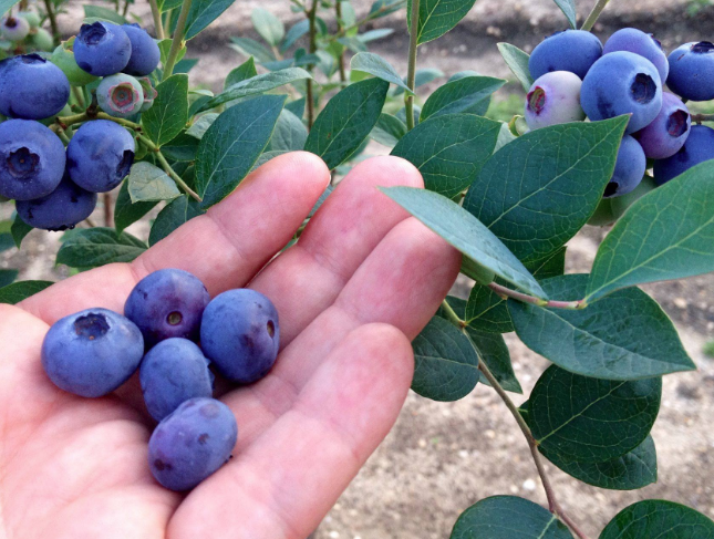Image of a jersey blueberry in a persons hand.